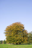Autumn leaves on tree in field Royalty Free Stock Photos