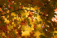Autumn leaves on tree in forest Royalty Free Stock Photos