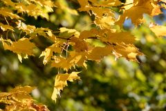 Autumn leaves on tree Royalty Free Stock Photography