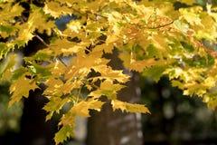 Autumn leaves on tree Stock Image