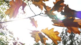 Autumn leaves on a tree. Through the leaves the sun shines. Autumn leaves on a tree. Through the leaves the sun shines stock video