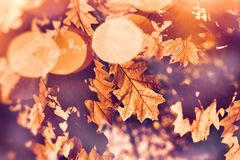 Autumn leaves on tree lit by sun rays. Beautiful nature in autumn Stock Photography