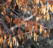 Autumn leaves on the tree in nature Royalty Free Stock Photo