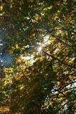 Autumn leaves on tree tops with sky and  sun beams. Colorful autumn leaves on tree tops with sky and  with sun beams Stock Image