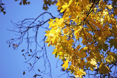 Autumn leaves on a tree. Warm autumn day. Royalty Free Stock Photos