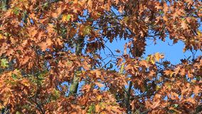 Autumn leaves on the tree in the wind. Autumn leaves on the tree stock video