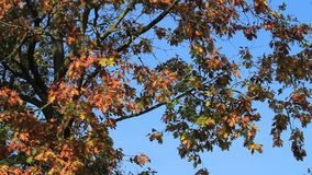 Autumn leaves on the tree in the wind. Autumn leaves on the tree stock footage