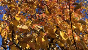 Autumn leaves on tree stock video