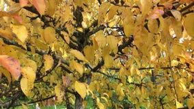 Autumn leaves on tree stock video