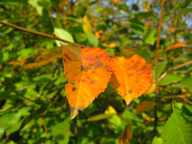 Autumn leaves on a trees Royalty Free Stock Photo