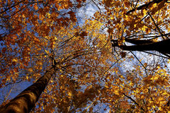 Autumn leaves. On the trees against the blue sky Royalty Free Stock Photo