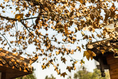 Autumn leaves on the trees Royalty Free Stock Photo