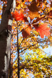 Autumn leaves with trees Royalty Free Stock Images