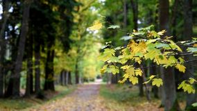 Autumn leaves from a trees. Czech Republic stock video footage