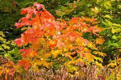 Autumn leaves on the trees. A autumnal view of some autumn leaves in the United Kingdom stock photos