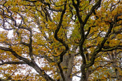 Autumn leaves on trees Stock Images