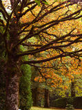 Autumn leaves on trees in a forest Royalty Free Stock Photography