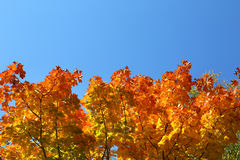 Autumn leaves on trees on sky background Stock Photography