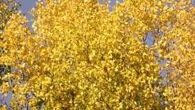 Autumn leaves on the trees swaying with wind. Close up. Blue sky background stock footage