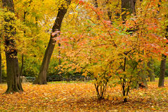 Autumn leaves. Autumn. Trees in yellow leaves Royalty Free Stock Photography