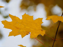 Autumn leaves. Autumn. Trees in yellow leaves stock photography