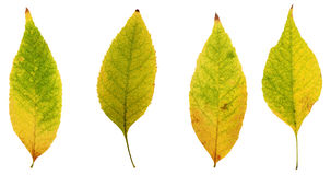 Autumn leaves  from trees  yellow, brown, red and green Royalty Free Stock Photos