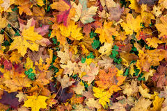 Autumn leaves and trefoil-clover Stock Photo