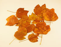 Autumn Leaves Tulip Poplar Stock Photography