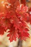 Autumn leaves on twig Stock Image