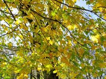 Autumn leaves on twigs of maple Stock Images