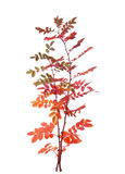 Autumn leaves. Two branches with colorful autumn leaves (Rose) isolated on white Stock Images