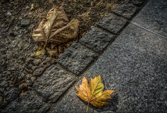 Autumn Leaves. Two fallen leaves in the autumn Royalty Free Stock Photography
