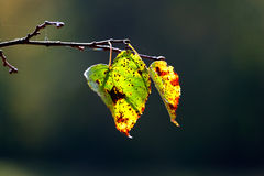 Autumn leaves. Two autumn leaves hanging on a branch Royalty Free Stock Photo