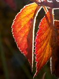 Autumn leaves. Two autumn leaf illuminated by the sun Royalty Free Stock Photography