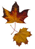 Autumn leaves. Two autumn maple laves composed on a white background Royalty Free Stock Images