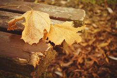 Autumn leaves. Two maple leaves on a wooden park bench Stock Images