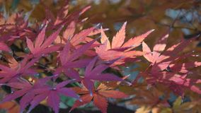 Autumn leaves stock footage