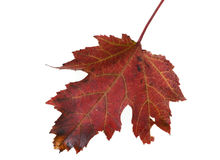 Autumn leaves in the UK. Leaves and mulch from autumn leaves on grass Stock Image