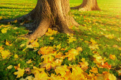 Autumn leaves under the autumn trees at sunset - autumn park in sunshine with autumn leaves on the ground royalty free stock photography