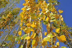 Autumn leaves. Under blue sky Royalty Free Stock Images