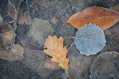 Autumn leaves under hoarfrost Royalty Free Stock Image