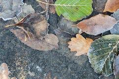 Autumn leaves under hoarfrost Stock Photo