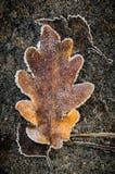 Autumn leaves under hoarfrost Stock Image