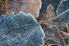 Autumn leaves under hoarfrost Stock Photography