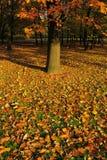 Autumn leaves under the oak tree. Stock Photo