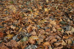 Autumn Leaves. An undisturbed pile of leaves Royalty Free Stock Photos