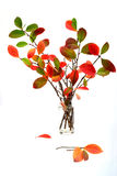 Autumn leaves in vase. Autumn choke tree leaves in vase on white background stock photo