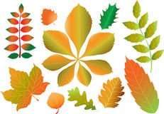 Autumn leaves. A vector illustration of ten different leaves of the following trees. Rowan,sycamore,birch,aspen,horse chestnut,oak, horn beam,holly,sweet Royalty Free Stock Image