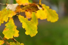 Autumn leaves, very shallow focus. Beautiful autumn background yellow oak leaves on green royalty free stock image