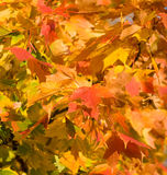 Autumn leaves, very shallow focus Royalty Free Stock Photography